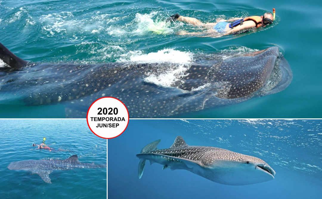 Tiburón Ballena desde Cancún (Snorkel) | VC19