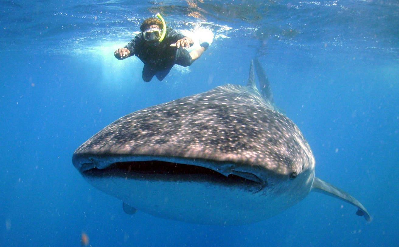 Tiburón Ballena desde Playa del Carmen (Snorkel) | VC19