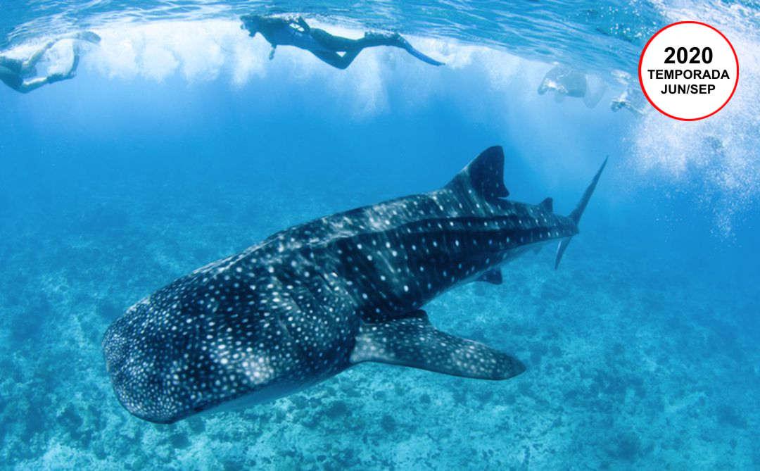 Tiburón Ballena (Snorkel y Avistamiento) | Cancún | VC19